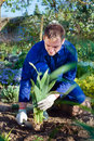 Farmer planting an iris flower in soil using shovel Royalty Free Stock Photos