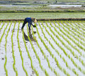 Farmer planting rice on paddy farmland. Stock Photography