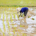 Farmer planting rice are in the paddy field Royalty Free Stock Photo