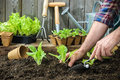 Farmer planting young seedlings of lettuce salad in the vegetable garden Royalty Free Stock Photo