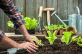 Farmer planting young seedlings of lettuce salad in the vegetable garden Stock Images