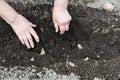 Farmer plants seed potato in furrow planting vegetables garden vegetable garden Royalty Free Stock Image