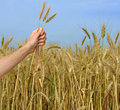 Farmer presenting bunch of wheat Stock Images