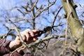 Farmer pruning apple tree in orchard