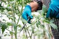 Farmer pruning lateral shoots of tomatoes in greenhouse