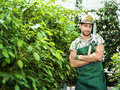 Farmer pruning plants in a greenhouse spring Royalty Free Stock Photography