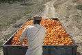 Farmer pushing oranges trailer in field rear view of middle age Royalty Free Stock Photography