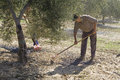 Farmer with a rake picking olives from the ground spain Stock Photos
