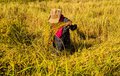 Farmer in the rice field harvesting by original style Stock Photos