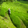 Farmer in the rice fields, beautiful rice terraces on Bali Royalty Free Stock Photo