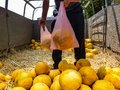 Farmer sells sweet yellow melons from the truck Royalty Free Stock Photo