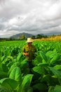 Farmer smoking cigar in the middle of tobacco in viñales cuba cuban searching for a perfect leaf Royalty Free Stock Images