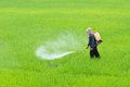 Farmer a spraying fertilizer or insecticide in paddy field Royalty Free Stock Image