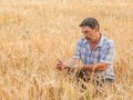 Farmer standing in a wheat field looking at the crop Royalty Free Stock Image
