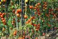 Vegetable garden with tomatoes Royalty Free Stock Photo