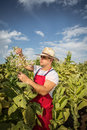 Farmer tobacco in the field with blue sky Stock Photos