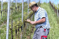 Farmer in the vineyard is checking health of grape vine and searching for illnesses Royalty Free Stock Image