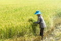 Farmer was harvest ripe rice in his field thai Stock Photography
