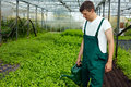 Farmer watering basil plants Royalty Free Stock Photography
