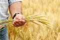 Farmer with wheat in hands. Royalty Free Stock Photo