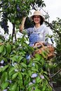 Farmer woman picking plums Stock Image