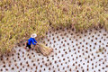 Farmer working in a paddy rice field during harvest Royalty Free Stock Photo