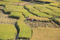 Farmer working at paddy rice field in kathmandu nepal Royalty Free Stock Photography