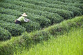 Farmer working in a tea field, Guangxi