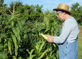 Farmers corn crop farmer in a straw hat checking his Royalty Free Stock Image