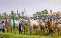 Farmers with cow racing Royalty Free Stock Images