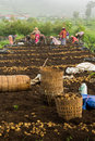 Farmers cultivate potatoes Royalty Free Stock Photo