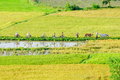 Farmers go to work by bicycle the field in the early morning mekong delta an giang province vietnam Royalty Free Stock Photography