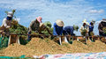 Farmers harvest peanut under blue sky binh thuan tree on the large area by take them out of underground grain fall in pile Stock Images
