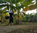 Farmers are harvesting bananas for sale at the market. Royalty Free Stock Photo