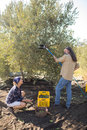 Farmers interacting while harvesting olive with rack Royalty Free Stock Photo