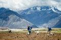 Farmers manually spread fertilizers on the plowed land