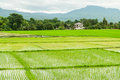Farmers are planting rice in the farm Stock Image