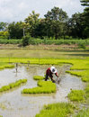 Farmers are planting rice in the farm. Royalty Free Stock Images