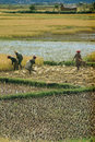 Farmers planting rice in the field on may in the highlands of madagascar Royalty Free Stock Photos