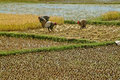 Farmers planting rice in the field on may in the highlands of madagascar Royalty Free Stock Photography