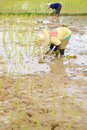 Farmers planting rice are in the paddy field Royalty Free Stock Photo