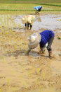 Farmers planting rice are in the paddy field Stock Photos