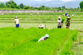 Farmers prepare seedlings of rice chiang mai thailand july on the paddy fields on july in hangdong chiang mai thailand Royalty Free Stock Photography