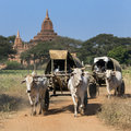 Farmers way to market bullock drawn carts bagan myanmar burma Royalty Free Stock Image