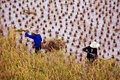 Farmers working in a paddy rice field during harvest Royalty Free Stock Photo