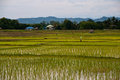 Farmers working planting rice Royalty Free Stock Images