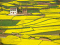 Farmhouse rapeseed field around Royalty Free Stock Image