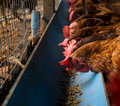 Farming chicken, chicken eating food Royalty Free Stock Photo