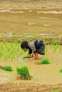 Farming in the field yen bai vietnam may th a little hmong girl paddy of mu cang chai Stock Photo