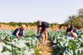 Farming, gardening, agriculture and people concept- family harvesting cabbage at greenhouse on farm. Family business. Royalty Free Stock Photo